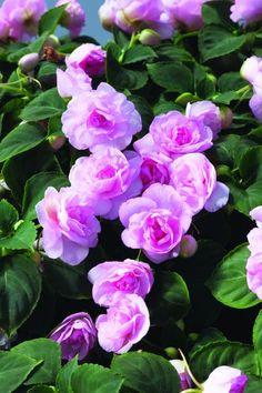 Double Impatients 'Silhouette Light Pink'