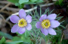 anemone flor jardín primavera púrpura bloompurple