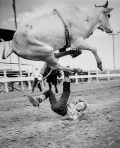 Brama catches som air and hurts only the pride of junior rodeo rider Rodney Goings. A girl won the event. Photographe by Kip Hindon in 1961. åÊ