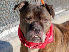 SAFE 02/27/15!  Was TO BE DESTROYED - 02/27/15 Manhattan Center -P  My name is ROONEY. My Animal ID # is A1027989. I am a male br brindle and white amer bulldog mix. The shelter thinks I am about 7 YEARS old. For more information on adopting from the NYC AC&C, or to find a rescue to assist, please read the following: http://urgentpetsondeathrow.org/must-read/