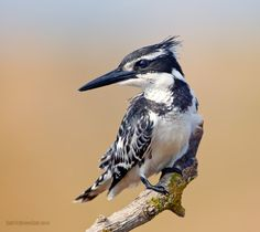 Pied Kingfisher (Ceryle rudis) by Elizabeth. E. on 500px