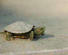 ilheus de cabo verde ''tartaruga''