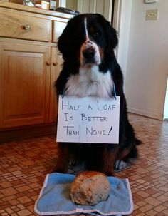 It's not just my Bernese Mountain Dog that does this! Bread addiction!