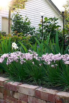 Tulbaghia Fairy Star Garden Paths, Garden Landscaping, Edging Plants, Irrigation, Garden Ideas, Ss, Fairy, Trees, Gardening