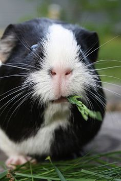 Oreo, the guinea pig (by ellie_toddlong)