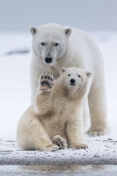 ~~Say Hello | Female Polar bear with her cub in the Beaufort Sea, Barter Island, Alaska by Kyriakos Kaziras~~