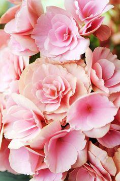 Begonia 'non stop pink'