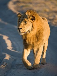 Mr Lion - Botswana, Africa