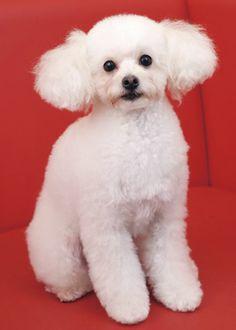 ソフティパピー --愛犬の友 ヘアスタイルカタログ--