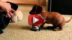 Puppy dachshund rings the bell, see what happens next - I Love Dachshunds