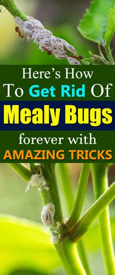 Learn how to get rid of mealybugs easily and effectively to keep your houseplants and tropical plants safe!