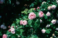 RHS Plant Selector Rosa 'Constance Spry' (ClS) AGM / RHS Gardening - choice for wall of house beside road Purchase from David Austin at Constance Spry, Shrub Roses, Clay Soil, David Austin, Garden Borders, Shrubs, Garden Design, Fragrance, Bloom