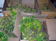 Over-winter bare root geraniums in boxes.