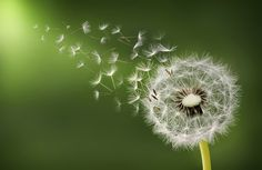 Photograph Dandelion clock in morning by Bess Hamiti on 500px