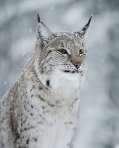 Lynx Yawning in Norway Fast Crazy Nature Deals. Rare Animals, Animals And Pets, Funny Animals, Wild Animals, Exotic Animals, I Love Cats, Big Cats, Beautiful Cats, Animals Beautiful