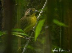 Yellow-lored Bristlebill (Bleda notatus)  Korup National Park, Cameroon_20120314