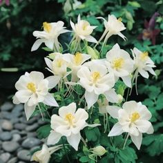 Origami White columbine seeds - White petals and white corollas - Perennial Flowers