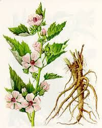 Marshmallow is a perennial plant belonging to genus Althaea and family Malvaceae. It is most commonly found in the damp areas of northern Europe and western Asia. It is also identified by the names...