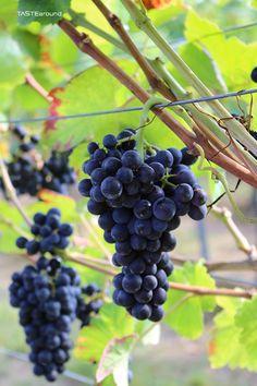 Es ist ein Familienprojekt...mit nur 3 Rebzeilen wird der Versuch gestartet, aus Wein - genauer aus Spätburgunder - Sekt zu produzieren. De...