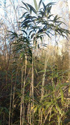 Arrow Bamboo at Shawnee Grove