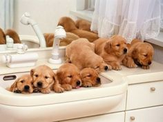 give me a bathroom sink full of golden puppies and that would make me very happy