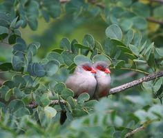 The Common waxbill (Estrilda astrild), also known as the St Helena Waxbill is a small passerine bird belonging to the estrildid finch family. (Bico-de-lacre-comum, também conhecido como bico-de-lacre-de-santa-helena)
