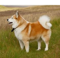 Icelandic Sheepdog - planning on getting one some day :)