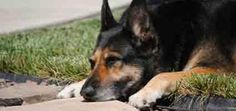 German Shepherd Stands Watch Over His Owner's Grave -- For Six Years | Dogster