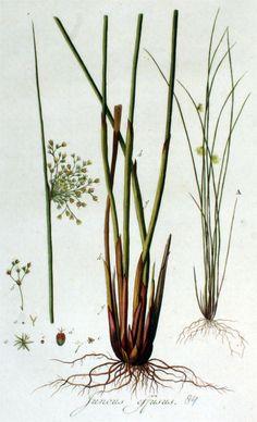 Pitrus - Juncus effusus - Flora Batava  Jan Kops