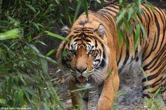 Indonesia tambien posee al tigre de Sumatra. En las islas de Bali y Java tambien suelen habitar tigres, pero en ambas fueron extintos durante el siglo XX