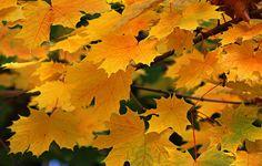 golden autumn by svitakovaeva