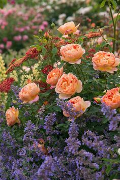 Lady of Shalott. Love the color combination. I planted lavender around my Mary Magdalene rose for the same effect