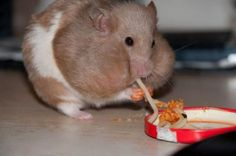 Funny Animal Pictures - View our collection of cute and funny pet videos and pics. New funny animal pictures and videos submitted daily. Hamster Eating, Hamster Stuff, Hamster Food, Hamsters Video, Funny Hamsters, Cute Animal Videos, Funny Animal Pictures, Cute Baby Animals