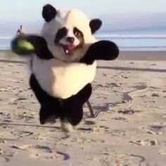Funny dog in the form of a panda dog form panda Funny Animal Memes, Dog Memes, Cute Funny Animals, Funny Animal Pictures, Cute Baby Animals, Funny Cute, Funny Dogs, Animals And Pets, Panda Funny
