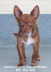 Paprika is an adoptable Chihuahua Dog in Fort Mitchell, KY. 5 months old. His best friend is a cat named Pimento. They came into the shelter together and love each other....