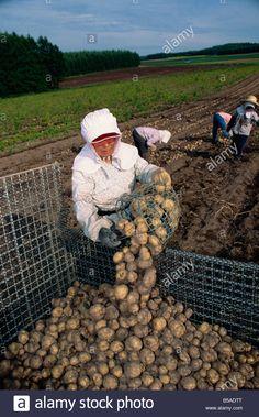 Women farm workers harvesting potatoes on Hokkaido Japan Asia G Stock Photo, Royalty Free Image: 20514056 - Alamy Japanese Farmer, Thesis, Royalty Free Images, Knot, Asia, Potatoes, Stock Photos, Illustration, Women