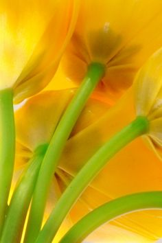 Yellow Tulips ♥    Unlike most yellow flowers, yellow tulips don't just mean friendship. They mean hopelessly in love and happiness with one's life. Well isn't that about right ;-)