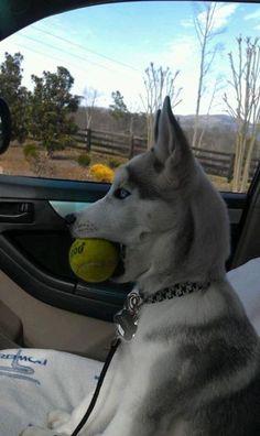 Have ball will travel #rescuedog #dog #itsarescuedoglife