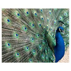 Peacock photograph, Fine Art Photography, Animal Art Print, Wildlife... ❤ liked on Polyvore featuring home, home decor, wall art, white wall art, white home decor, photo wall art, paper wall art and photography wall art