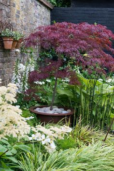 Acer Japanese Maple Tree ~ I have several maple trees planted in pots...need to be transplanted into the garden after approx, 5 years.