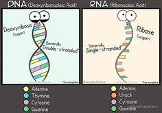 DNA vs RNA Poster by amoebasisters