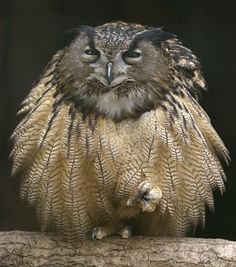 An eagle owl fluffs out its feathers as it sits on one foot in its enclosure at Grugapark in Essen, Germany, March 26, 2014
