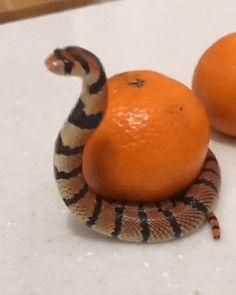 This is my mandarin - Gif Cute Funny Animals, Funny Animal Pictures, Cute Baby Animals, Funny Cute, Animals And Pets, Cute Reptiles, Reptiles And Amphibians, Beautiful Creatures, Animals Beautiful