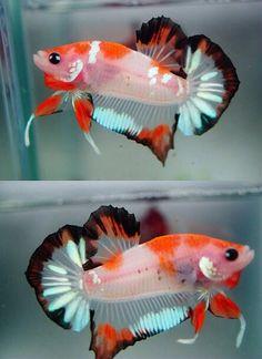 A really striking male 'koi' Betta. Koi Betta, Betta Aquarium, Betta Tank, Freshwater Aquarium Fish, Pretty Fish, Cool Fish, Beautiful Fish, Betta Fish Types, Betta Fish Care