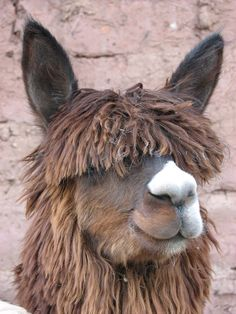 See them in their native environment across Peru - we love llamas! Peru Vacation, Giant Tortoise, In Patagonia, Machu Picchu, South America, Animal Rescue, Wildlife, Holidays, Llamas
