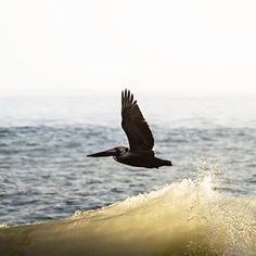 #Pelicans are so #ninja they ride the invisible air wave above the water wave #truefact #surflife