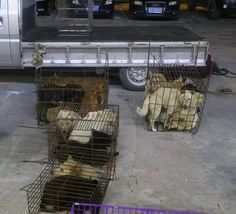 Amazing Rescuers Save 34 Dogs on Their Way to Yulin Slaughterhouse and Give Them…