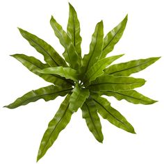 Long, gracefully wavy leaves on the Nearly Natural Artificial Birds Nest Fern Plant have a subtle sheen that adds realism. This artificial bird's. Artificial Birds, Artificial Flowers And Plants, Fern Plant, Plant Leaves, Green Leaves, Long Leaf Plants, Teaching Plants, Trees Top View, Bird Nest Fern