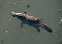The platypus (Ornithorhynchus anatinus) is a semi-aquatic egg-laying mammal of Australia. It is a monotreme (mammals that lay eggs instead of giving birth). This egg-laying, duck-billed, beaver-tailed, otter-footed mammal baffled European naturalists when they first encountered it, with some considering it an elaborate hoax. It is a venomous mammal; the male platypus has a spur on the hind foot that delivers a venom capable of causing severe pain to humans. - Wikipedia, the free encyclopedia