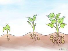 Comment faire pousser des patates douces